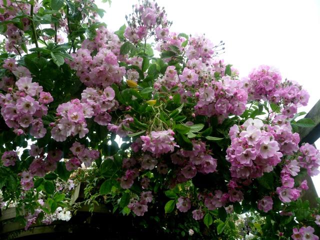 rosier 'Evangeline' 10-06-11