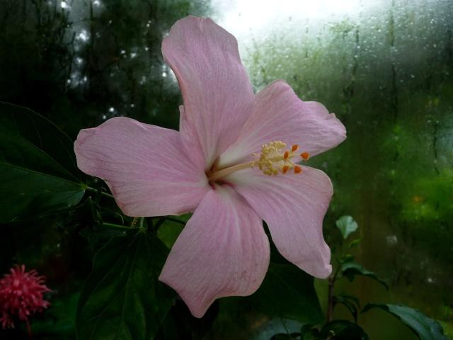 Hibiscus denisonii - hibiscus de Denison 13-07-10
