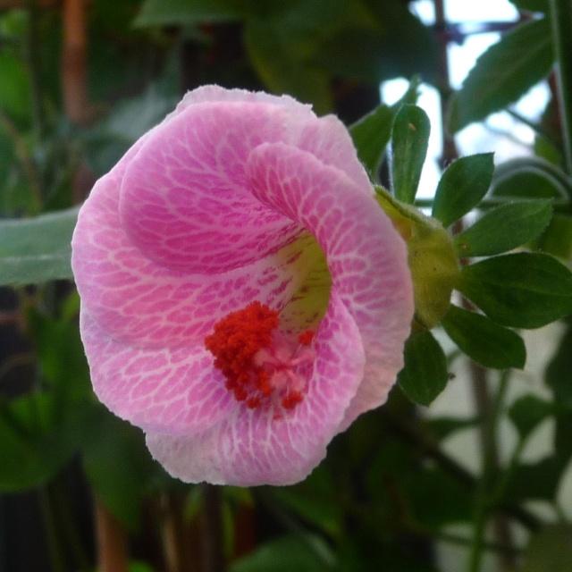 Hibiscus lavateroides 13410