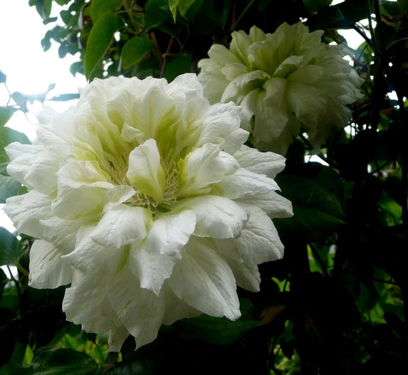 Clematis 'Duchesse d'Edimbourg' 17-05-11