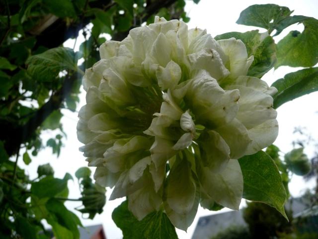 Clematis 'Duchesse d'Edimbourg' 17-05-12