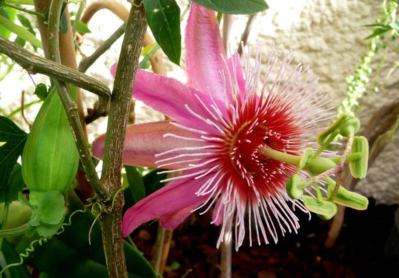 Passiflora 'Anastasia' 19-02-15