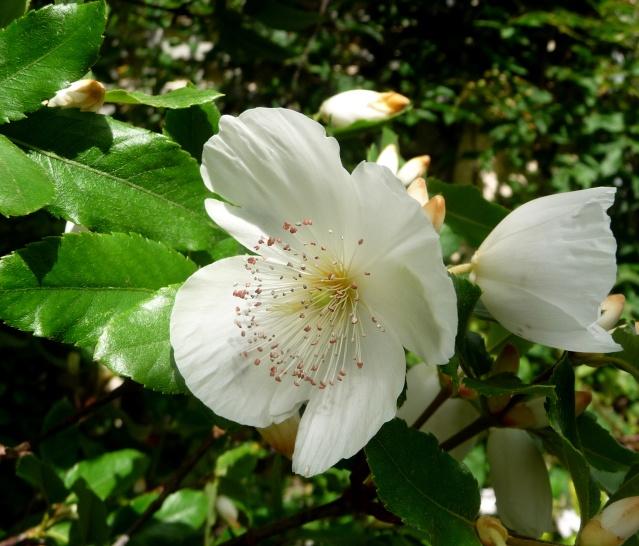 Eucryphia x nymansensis 'Nymansay' 20-07-16