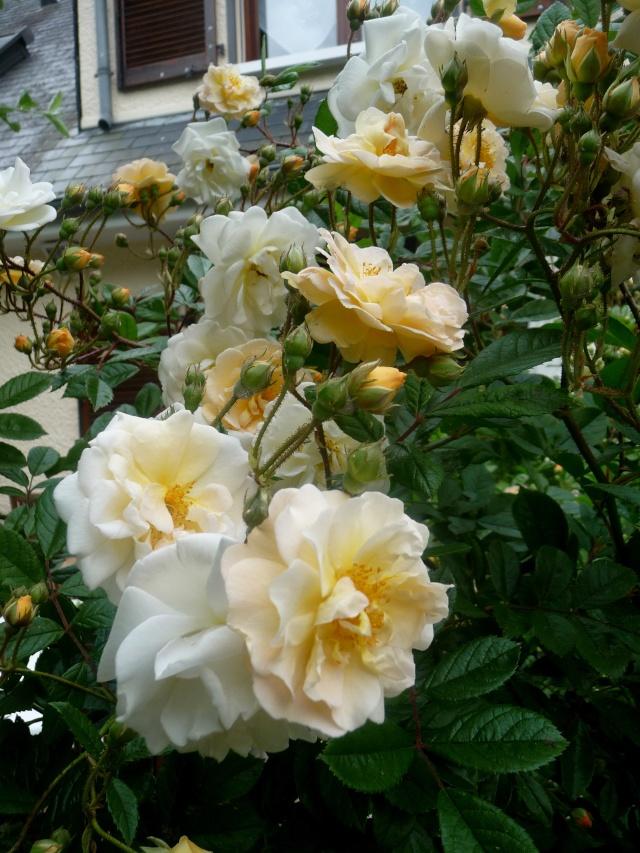 rosier 'Ghislaine de Feligonde' 30-05-10