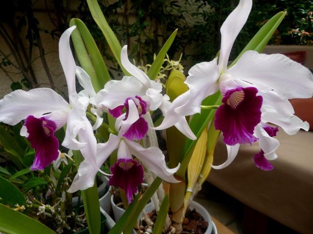 Laelia purpurata 31-05-11