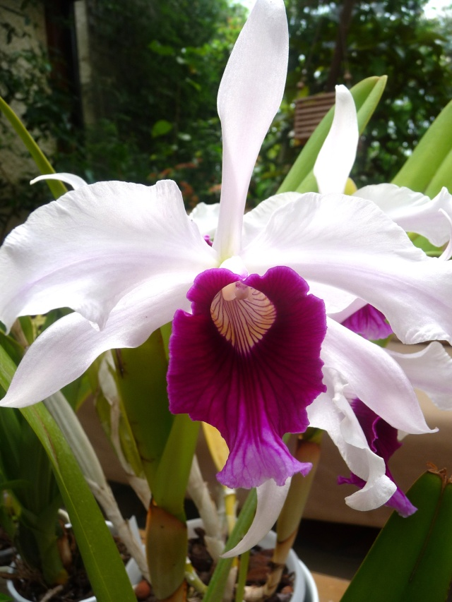 Laelia purpurata 31-05-12