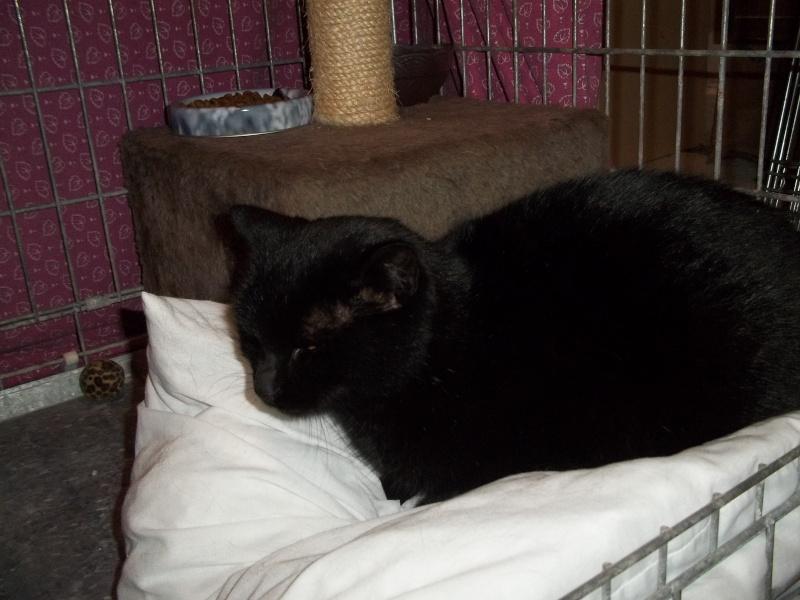 Deslys, chatte noire, née en 2008 0531010