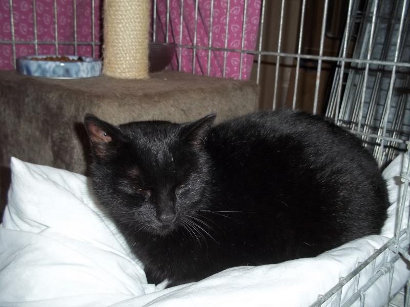 Deslys, chatte noire, née en 2008 0551010