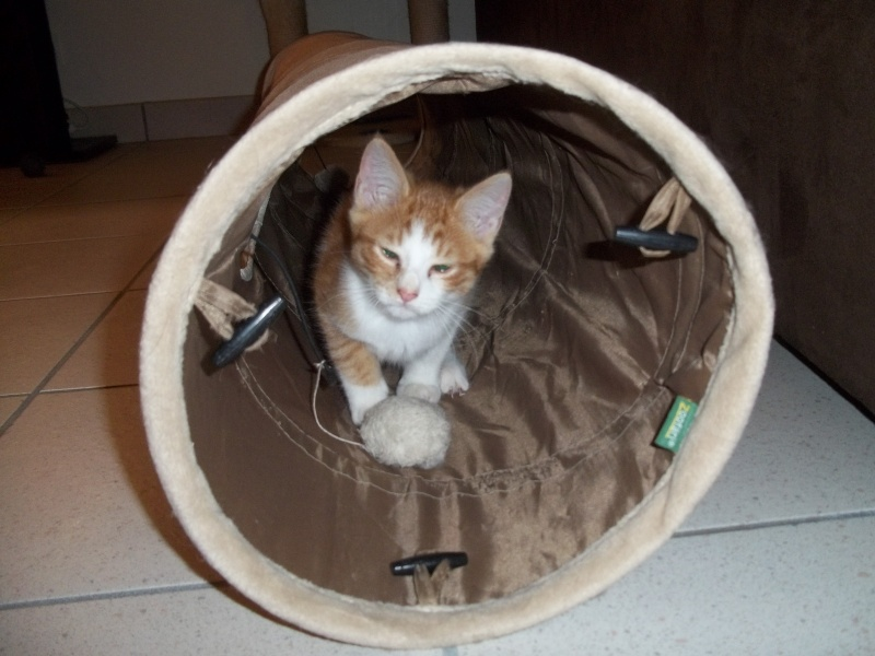 Gazou, chaton mâle roux et blanc , né vers le 20/11/2011 100_2029