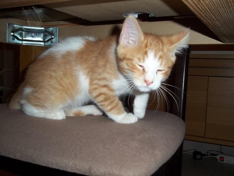 Gazou, chaton mâle roux et blanc , né vers le 20/11/2011 100_2030