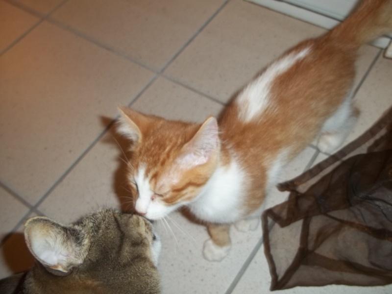 Gazou, chaton mâle roux et blanc , né vers le 20/11/2011 100_2033