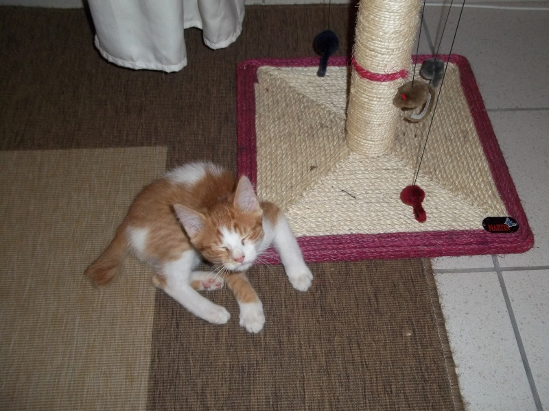 Gazou, chaton mâle roux et blanc , né vers le 20/11/2011 100_2034
