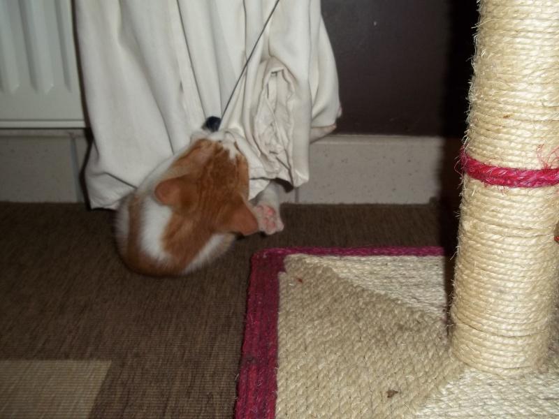 Gazou, chaton mâle roux et blanc , né vers le 20/11/2011 100_2036