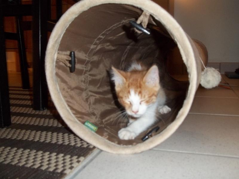 Gazou, chaton mâle roux et blanc , né vers le 20/11/2011 100_2040