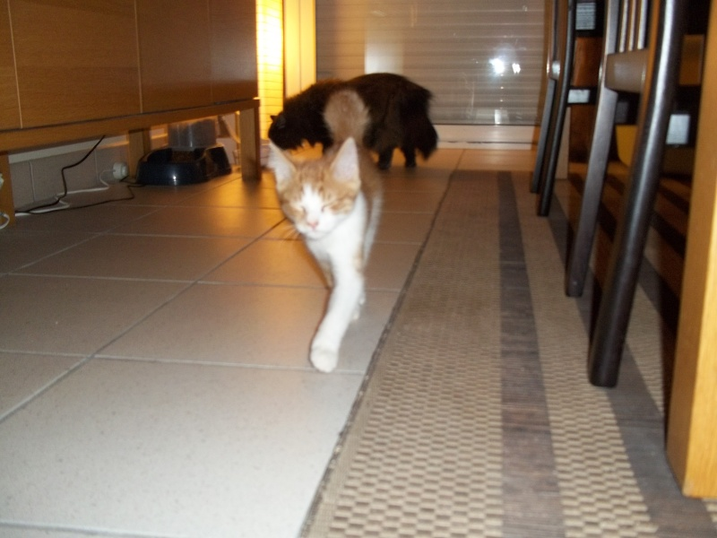 Gazou, chaton mâle roux et blanc , né vers le 20/11/2011 100_2041