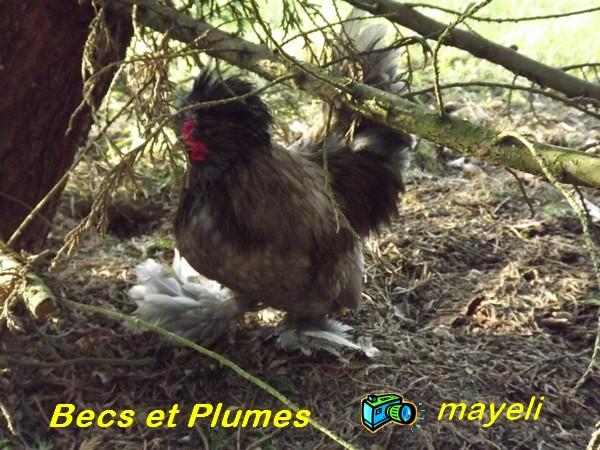 la poule naine de Burma  Burma_13