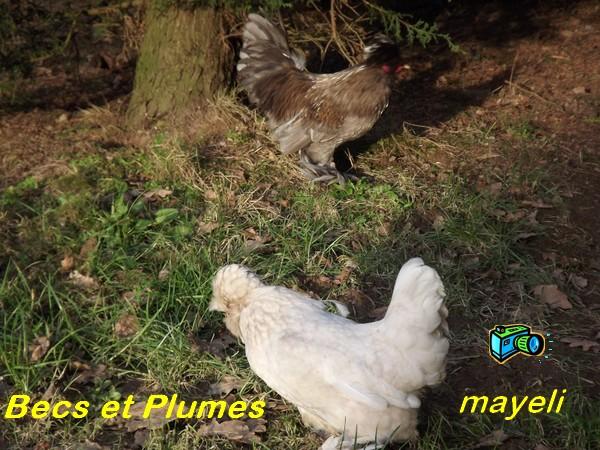 la poule naine de Burma  Burma_14