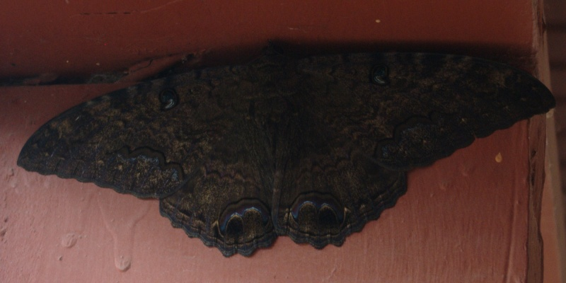 Macabro:Ascalapha odorata La Mariposa De La Muerte Ascala11