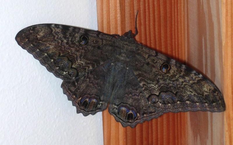 Macabro:Ascalapha odorata La Mariposa De La Muerte Black_10