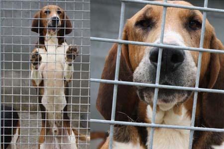[URGENT] 15 magnifiques chiens courants en danger - Refuge saturé (86) Conrad10