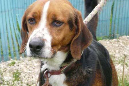 [URGENT] 15 magnifiques chiens courants en danger - Refuge saturé (86) Darius10
