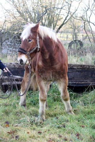 AREZZO - Trait Comtois né en 2010 - Adopté en juin 2011 Img_2910