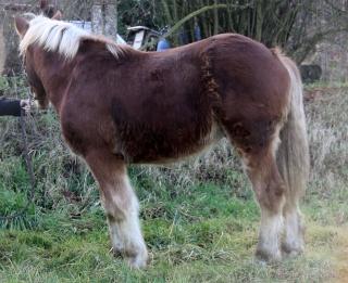 AREZZO - Trait Comtois né en 2010 - Adopté en juin 2011 Img_2911
