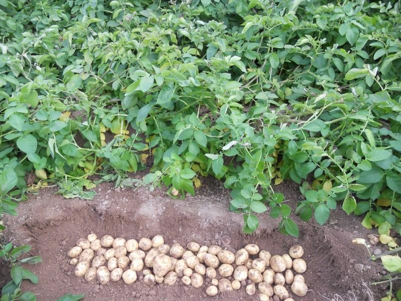 évolution des cultures de pommes de terre 2011. - Page 5 00111