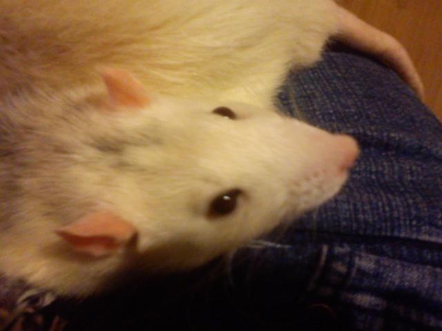 Mes rats  Dsc00026