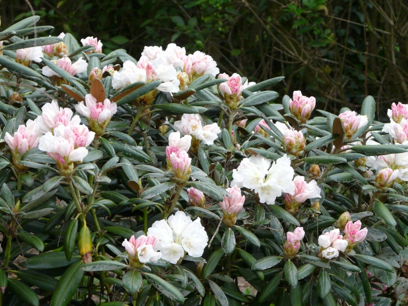 Tailler mon rhododendron P1190710