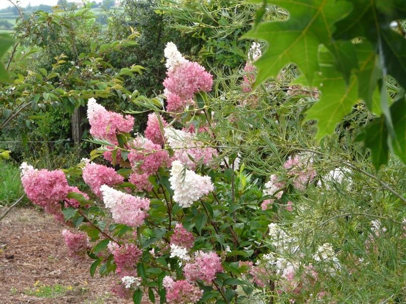Hydrangea paniculata Vanille et Fraise ( Vanilla Strawberry ) P1250714