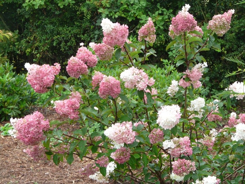 Hydrangea paniculata Vanille et Fraise ( Vanilla Strawberry ) P1250815