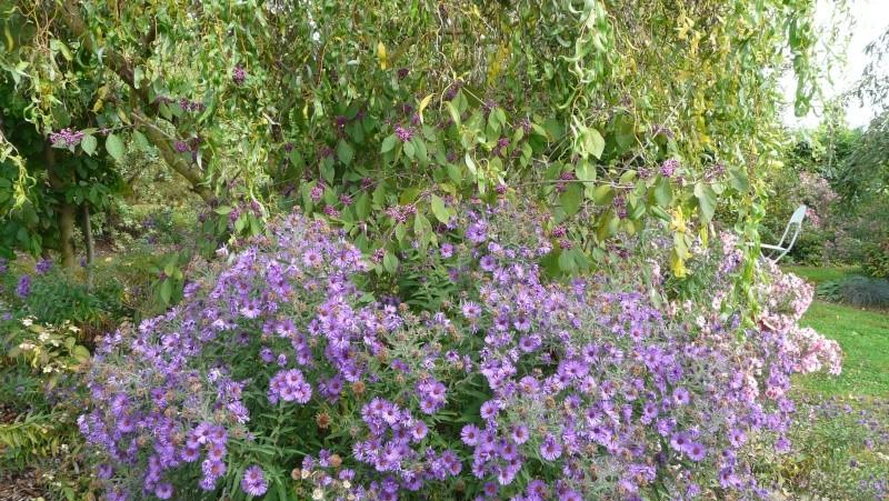 Callicarpa dichotoma (arbuste aux bonbons) P1270517