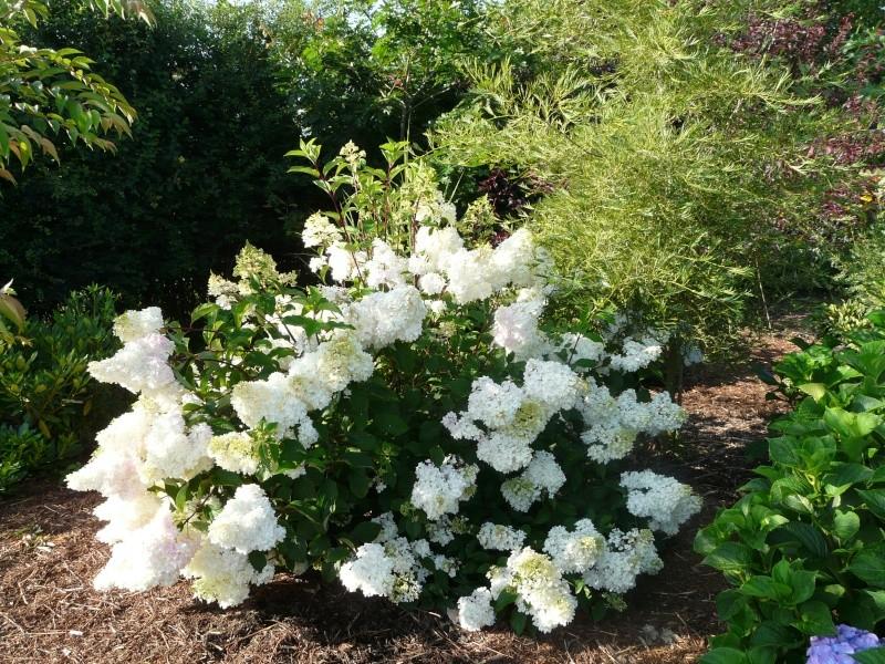 Hydrangea paniculata Vanille et Fraise ( Vanilla Strawberry ) P1370013