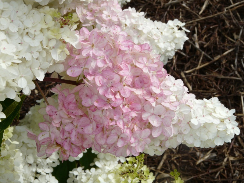 Hydrangea paniculata Vanille et Fraise ( Vanilla Strawberry ) P1370110