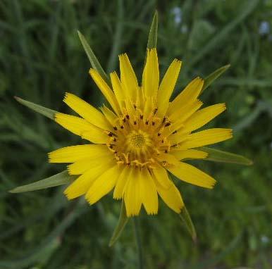Connaissez-vous son nom? Tragopogon pratensis 2012_035