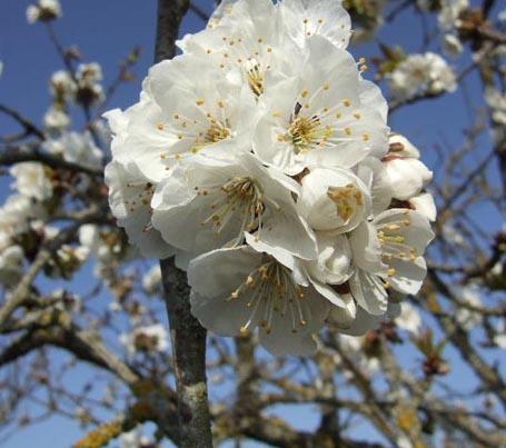 arbres en fleurs au printemps Cerisi10