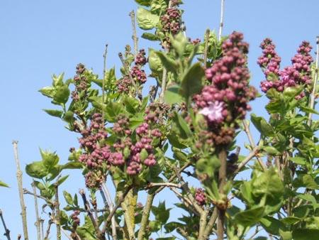 arbres en fleurs au printemps Lilas-12