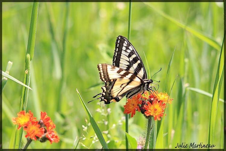 papillon tigré Img_5121