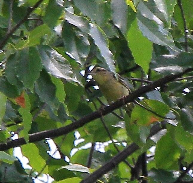 Petit oiseaux i.d. svp. Img_5822