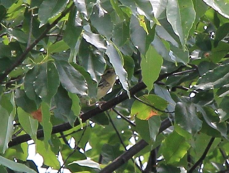 Petit oiseaux i.d. svp. Img_5823
