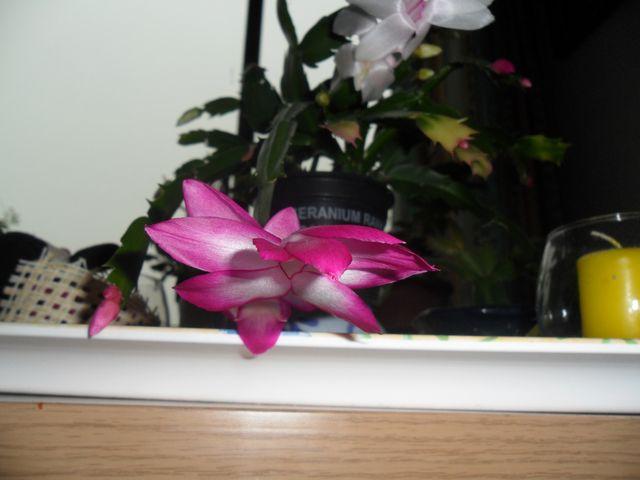 Quelques plantes d'intérieur... - Page 3 Sam_1421