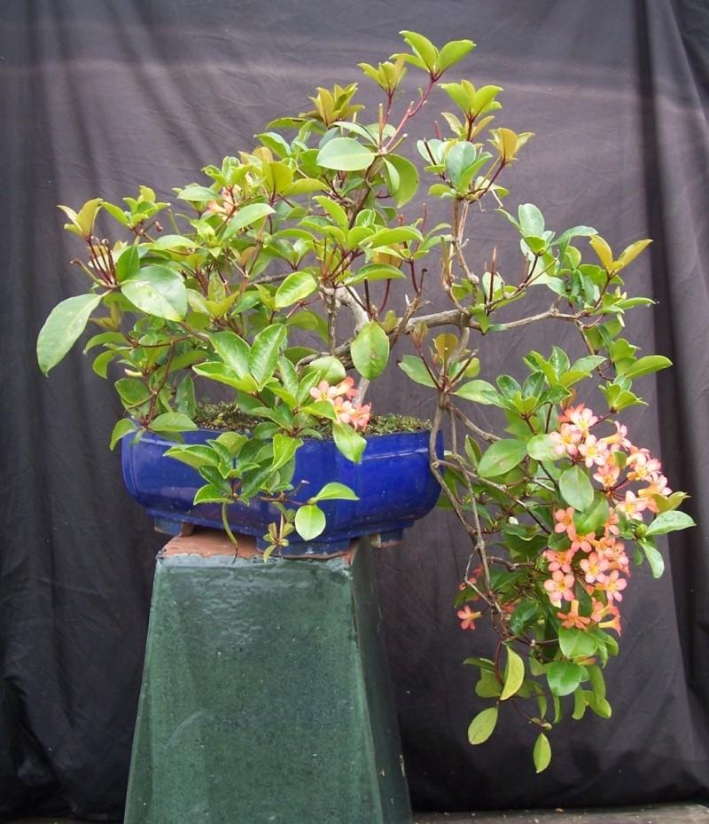 Vireya Rhododendron 100_3311