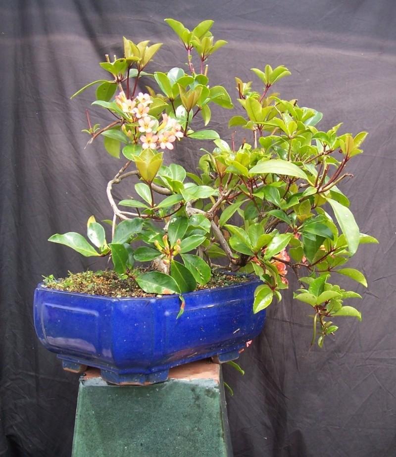 Vireya Rhododendron 100_3312