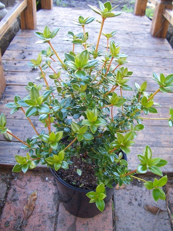 Vireya Rhododendron Rz_10010