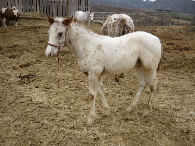A vendre appaloosa x quarter nommé Cochise Chantana Bren P1030111