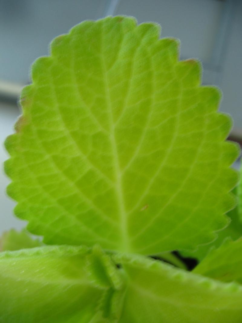 Is my Coleus Amboniensis extually a Coleus Amboinicus? Img_3011