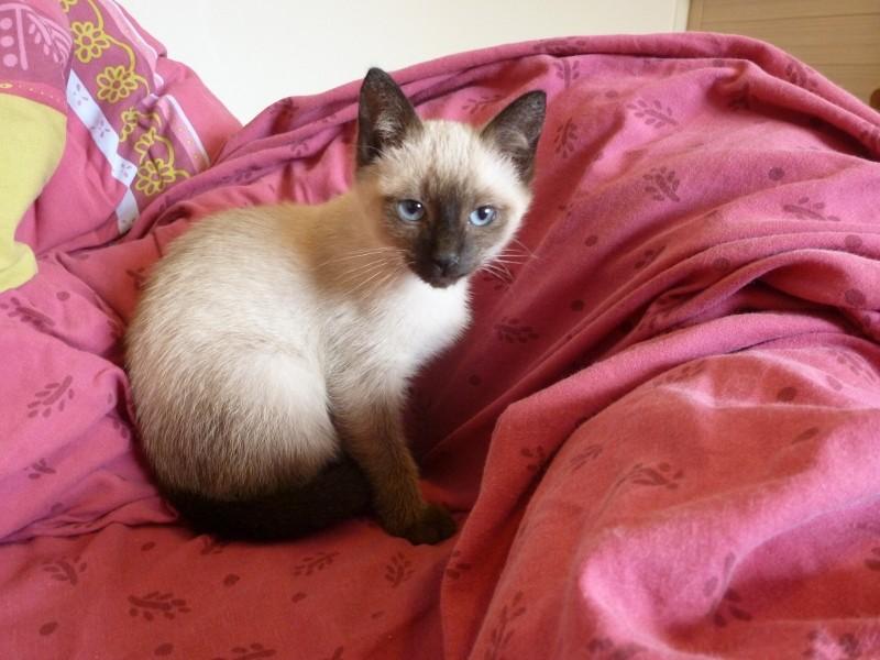 Harielle femelle type siamois née le 11/04/2012 P1000710