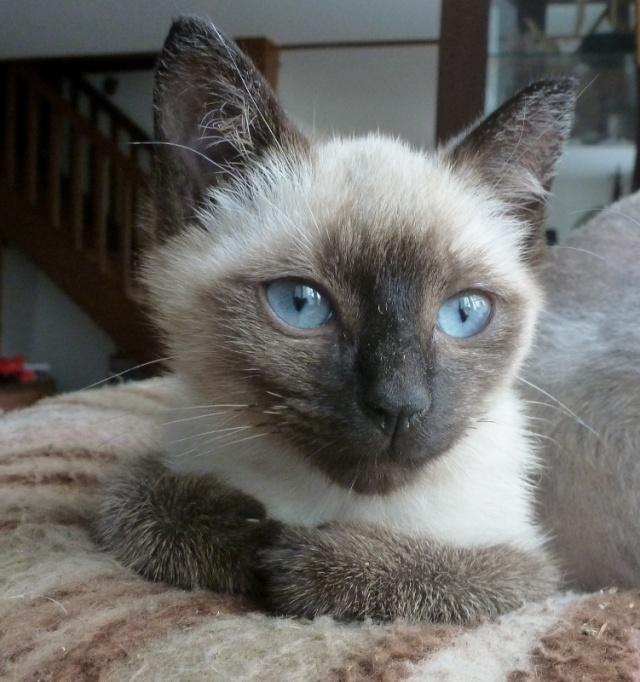 Harielle femelle type siamois née le 11/04/2012 P1000712