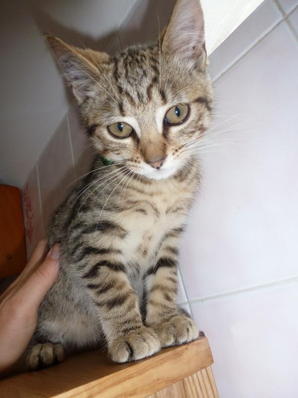 Hercule mâle tigré né le 04/04/2012 P1000716